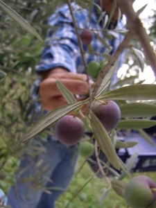 Each olive needs to be harvested .. by hand!